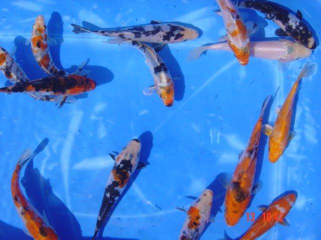 Koikarpfen fischzucht gerstner in obervolkach for Speisefische im gartenteich